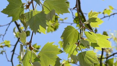 platanus-x-acerifolia-leaves-1.jpg