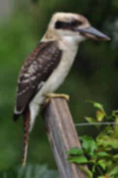 kookaburra_pandf photography outdoorhobb