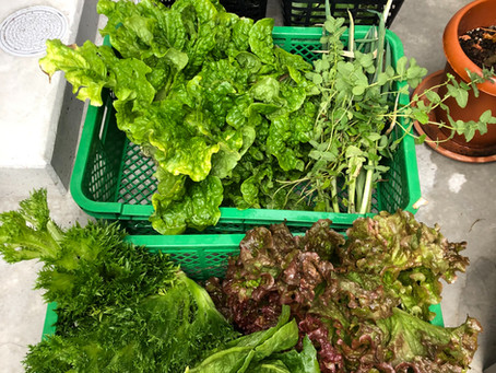 今日の朝採り野菜