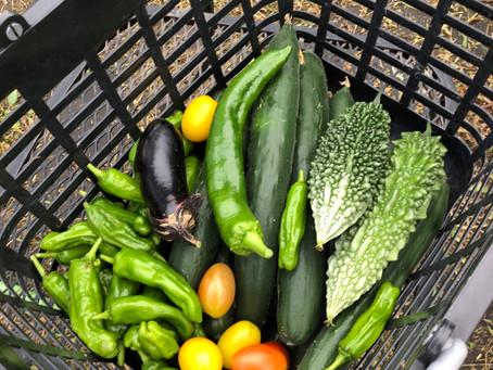 今日の収穫はキュウリ、アイコ、茄子、ゴーヤ、シシトウ、長ピーマンでした。