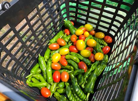 今日の収穫は、カボチャ、冬瓜、万願寺とうがらし、シシトウ、アイコ、キュウリ、茄子とたくさん採れました!