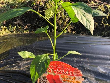 苗の定植と今日の収穫