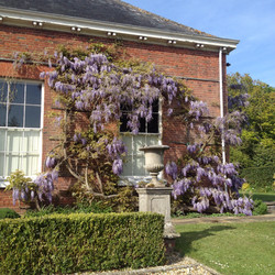 Wisteria May 2015