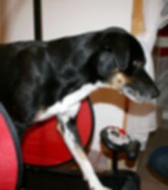 Hundephysiotherapie, Hund lahmt, Kniebandriss, Hundelaufband, Tierarzt, Muskelaufbau