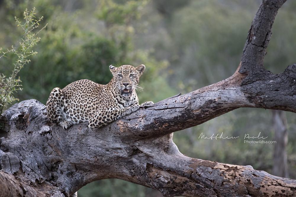 Female leopard on fallen over tree branch, South Africa Sabi Sands Game Reserve