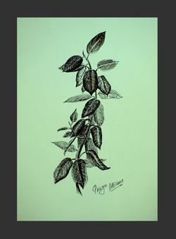 Фикус (А4, бумага, гелевая ручка)