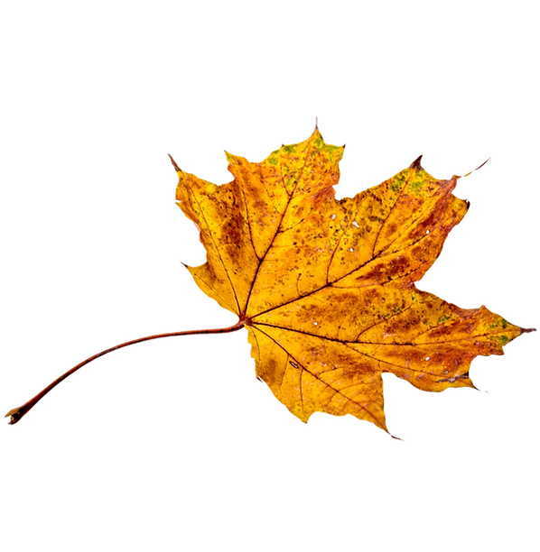 autumn leaf in the blue ridge mountains