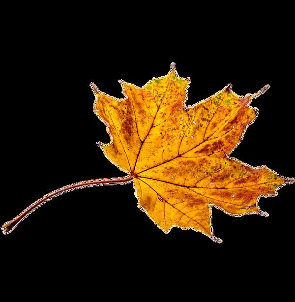 autumn leaf in the blue ridge mountains