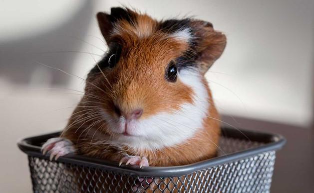 guinea pig.jpg