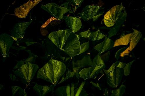 Noite verde