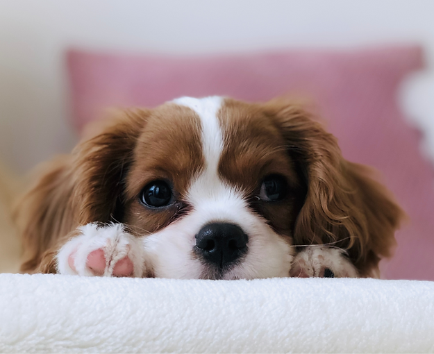 long-coated%2520white%2520and%2520brown%2520puppy_edited_edited.png