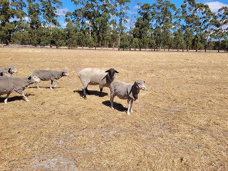 Ewes and Rams.jpg