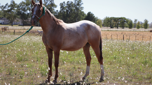 painted horse for sale