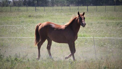 caballo appaloosa