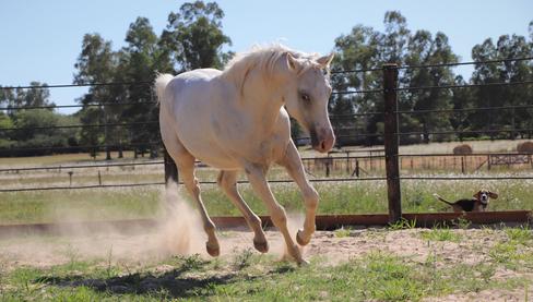 caballo en venta argentina