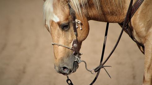 Quarter horse sa¿tallion for sale