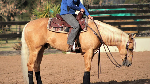 quarter horse stallion for sale