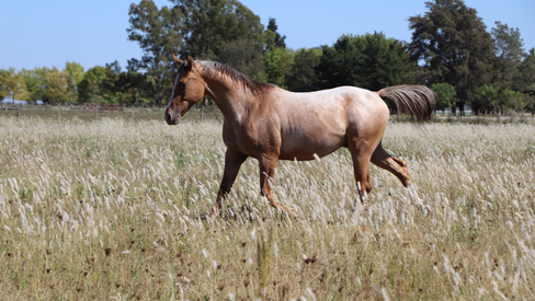 appaloosa horse for sale argentina