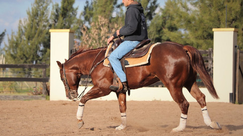 caballo cuarto de milla entrenado para rienda