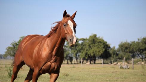 caballo appaloosa en argentina