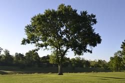 The Teak Tree (Tectona grandis)