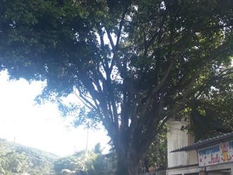 Magalhães Bastos sofre com árvores sem poda na rede elétrica