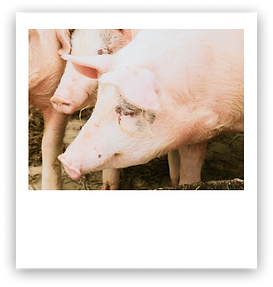 Swine27.png