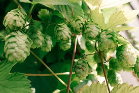 hops-plant-on-vine.jpg