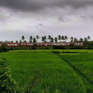Beautiful green fields in South Goa