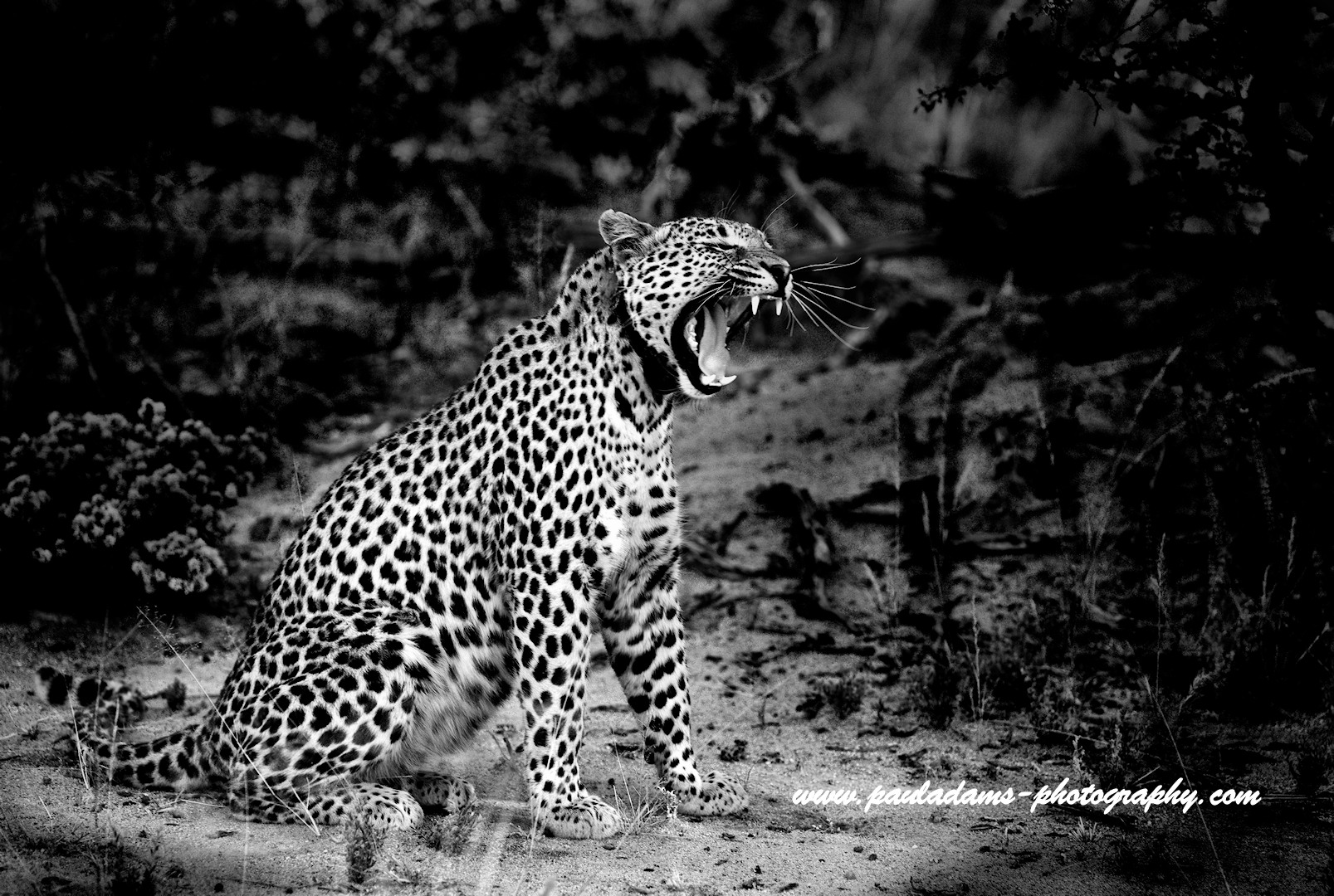Leopard - Namibia