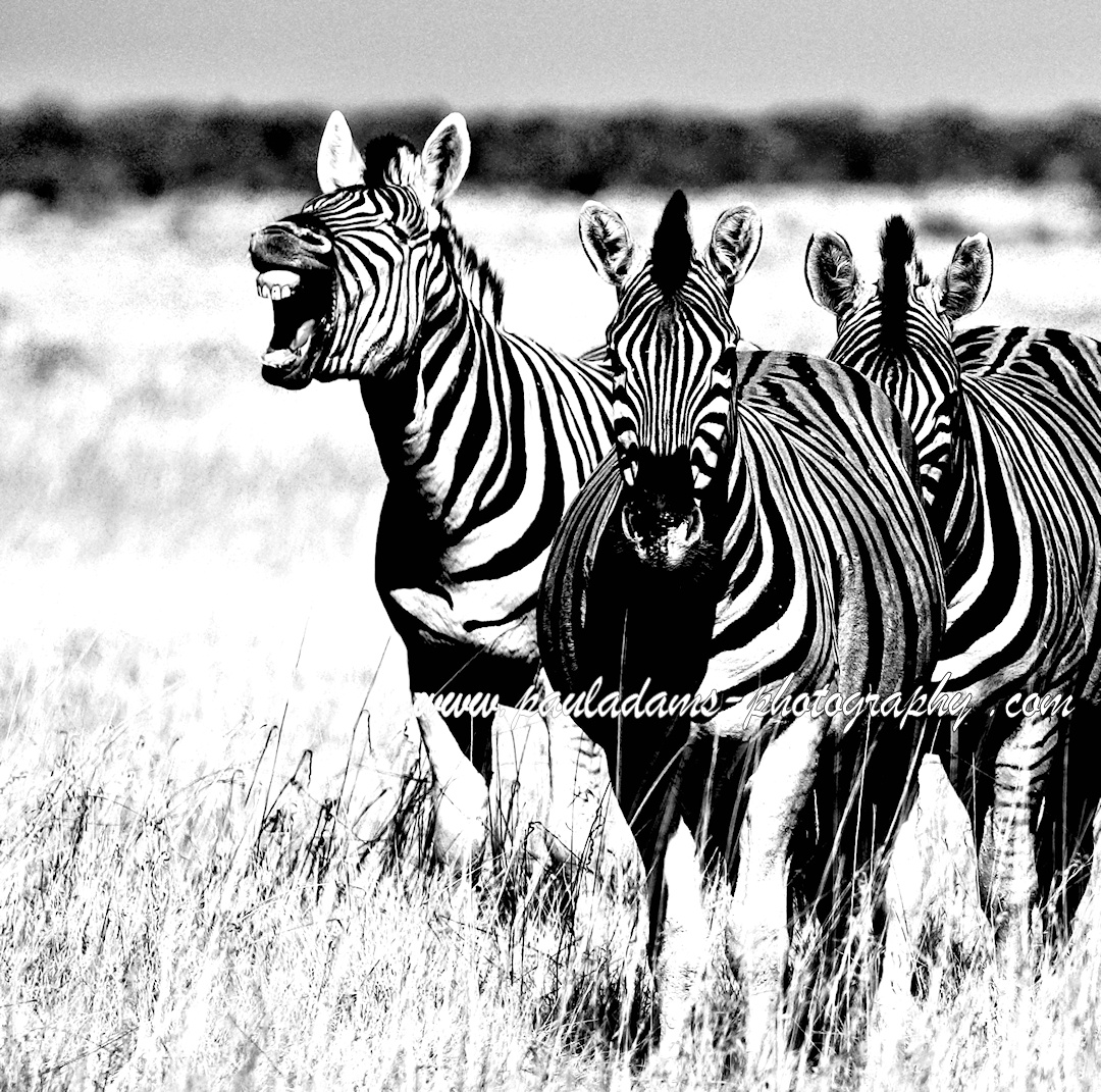 Braying zebra