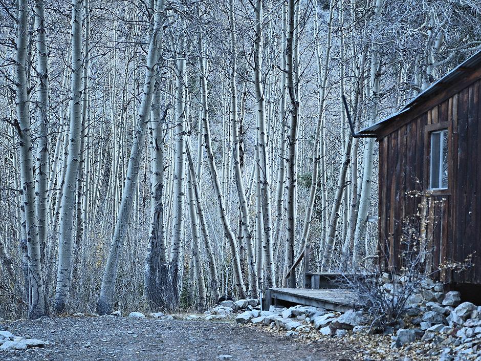 Aspen trees, Aspens, autumn trees, Lake Lundy, Lundy Lake.