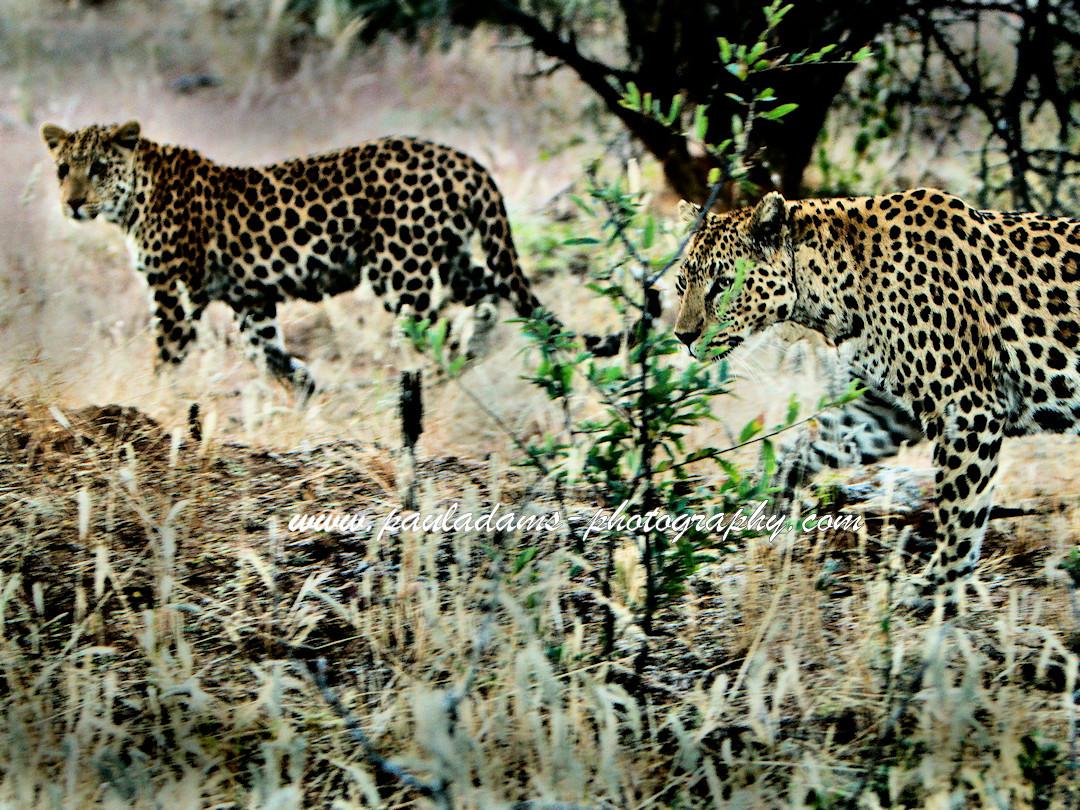 Leopardess & cub