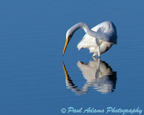 Great Egret, Western Australia