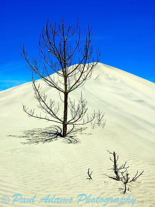 Buried Trees, Te Paki Dunes NP, North Island