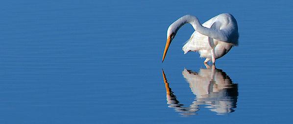 Great Egret, Peel Inlet, Western Australia