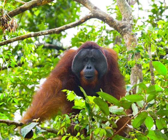 My solution to orangutan-human conflict