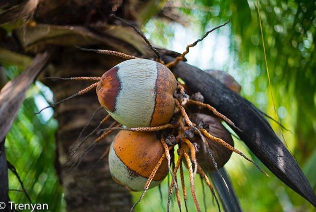 Designer Coconuts