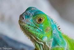 Multi Coloured Dragon