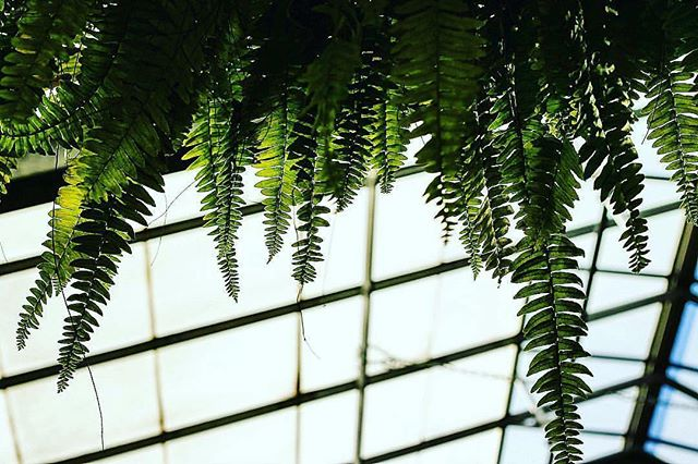 #ferns #Crystallotusstudios #greenhouse #photosynthesis #biology #plant #plants #leaves #hangingplan