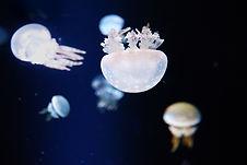 Quallen im Aquarium