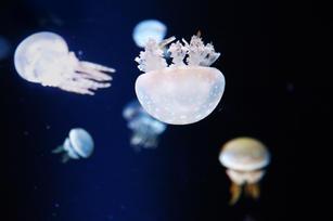 Jellyfish in Aquarium