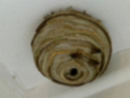 wasp nest removal Ballarat.jpg