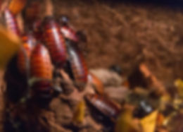 Cockroach control Ballarat.jpg