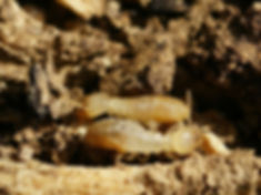 termite infestation Ballarat