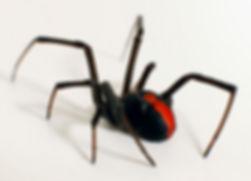 spider control Ballarat.jpg