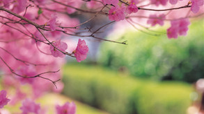 Catch A Glimpse of Cherry Blossoms Around the World Virtually!
