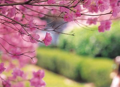 Árvore de cereja
