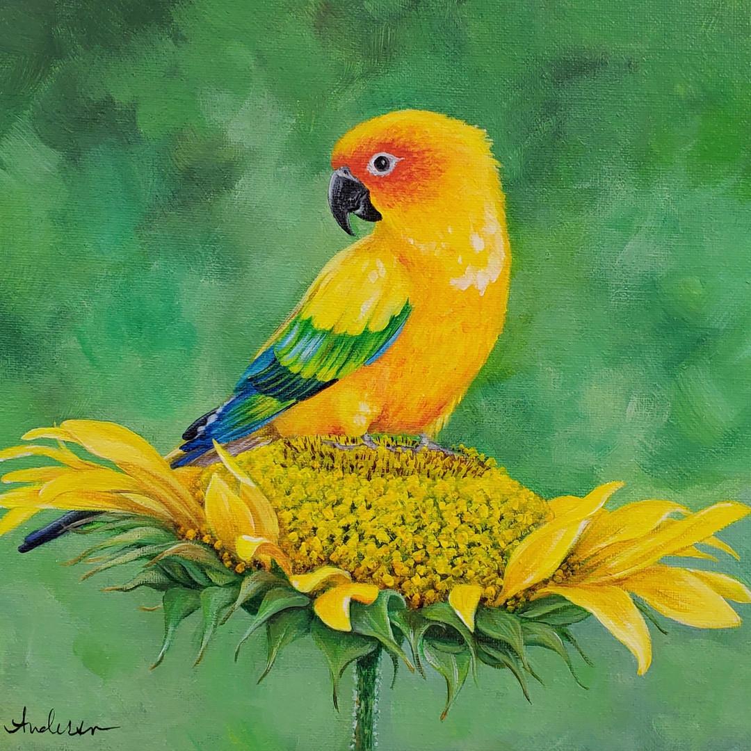 Sun Conure on Sunflower