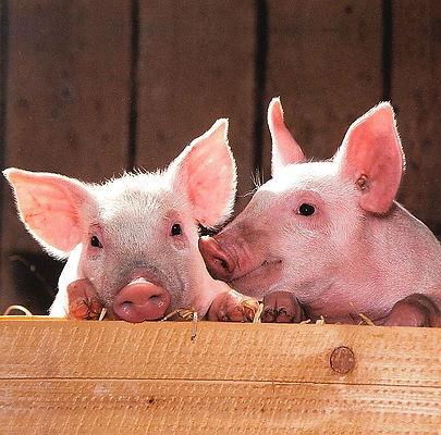 pigs-1507208_640.jpg